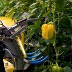 Робот по уборке перца может существенно помочь фермерам в уборке урожая