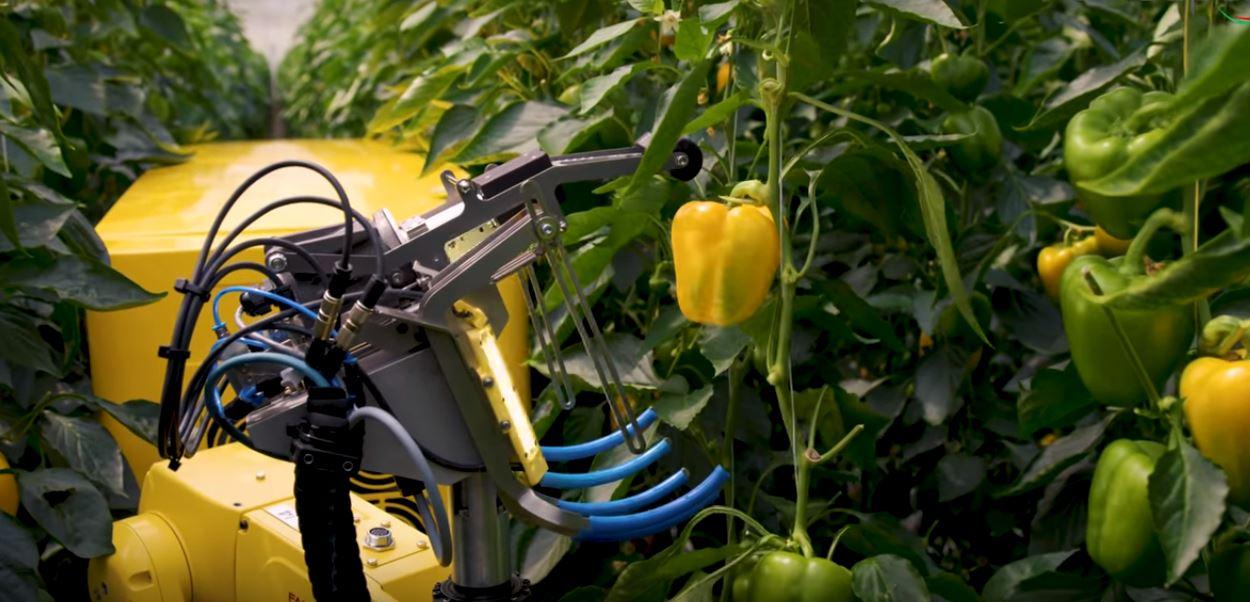 Новый сельскохозяйственный робот SWEEPER (уборщик) помогает в сборе перца