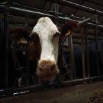 Использование технологии радиочастотной идентификации RFID в животноводстве значительно повышает производительность