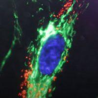 Ученые контролируют движения живых клеток с помощью электрических полей